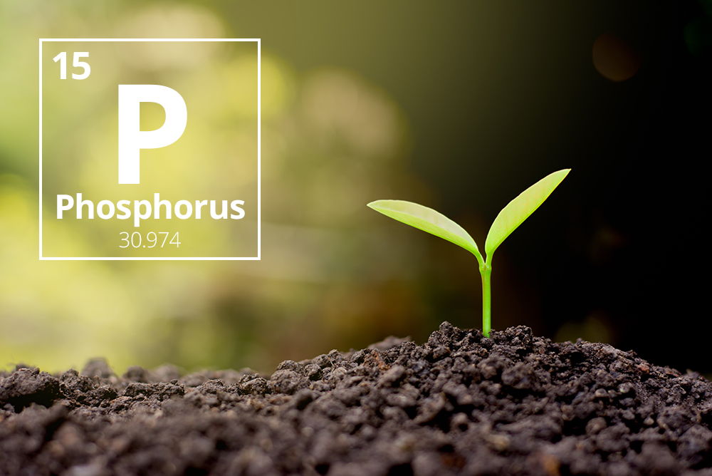 The importance of phosphorus to crops